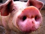 "Current EVEntS – Rosie O'Donnell Proves that Donald Trump was Right. She IS a ""Pig""!"